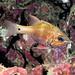 Apogon norfolcensis Norfolk cardinalfish