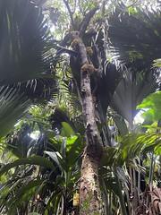 Coco de mer tree, Vallée de Mai
