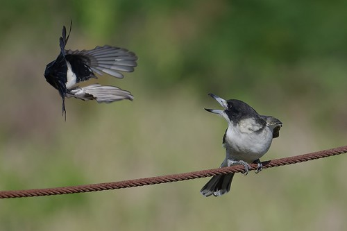 Willie Wagtail, Grey Butcherbird- The Irresistable Force meets the Immovable Object