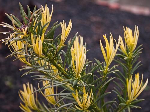 Podocarpus or yellowwood?