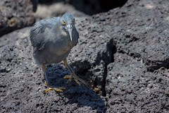 Lava Heron, Galapagos Islands