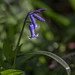 Solitary Bluebell