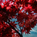 Japanese Maple Making Its Annual Appearance