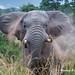 DSC05026 L4 Bongani 2017 Elefantenbulle