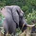 DSC05025 L4  Bongani 2017 Elefantenbulle