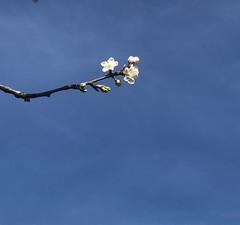 Photo of Damson blossom