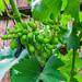 Home Grown Grape 02