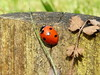 7 Spot Ladybird seen in my Willen garden 05Apr20