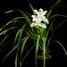 [Longzhou, Guangxi, China / 中国广西壮族自治区龙州县] Cymbidium eburneum var. longzhouense Z.J.Liu & S.C.Chen, Acta Phytotax. Sin. 44: 179 (2006)