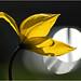 Backlight Tulip