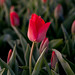 Spring in Holland: Tulips at Daybreak