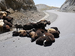 Sheep on the road.