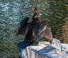 Little Black Cormorant drying its wings