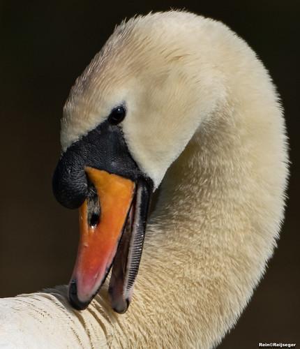 Zwaan - Cisne - Swan
