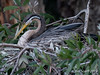 Australian Darter (female)