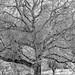 Bäume in Schwarzweiss