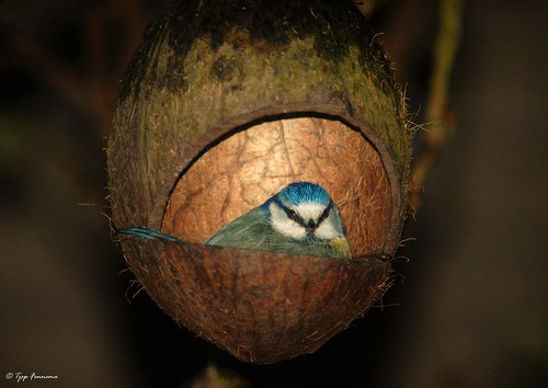 Coconut bird, Karveel lelystad