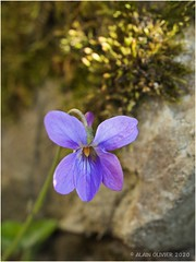 Violette de mars en avril (re)