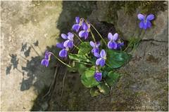 Violette de mars en avril