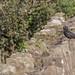 Territorial Blackbird (Turdus merula)