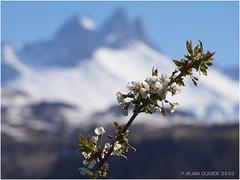 Cerisiers des oiseaux en fleur