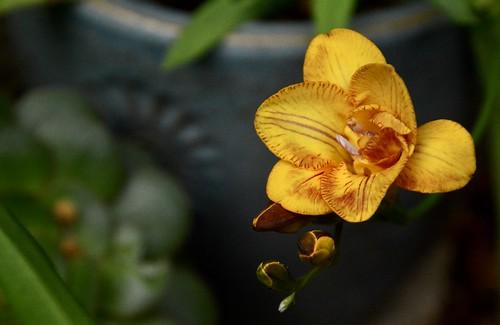 flower yellow gold freesia macro beauty plant potted covid19 coronavirus