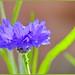 Another Cornflower