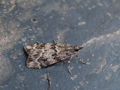 Photo of 63.064 Scoparia ambigualis