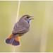 Blauwborst - Bluethroat  (Luscinia svecica) ...