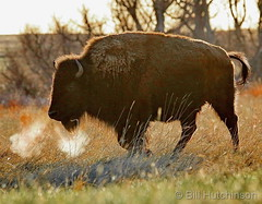 April 11, 2020 - Steaming bison. (Bill Hutchinson)
