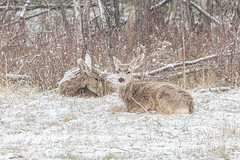 April 12, 2020 - Deer waiting out the snow. (Tony's Takes)