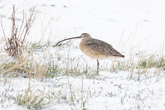 April 12, 2020 - A long billed curlew in the snow. (Tony's Takes)