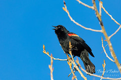 April 11, 2020 - A red winged blackbird making some noise. (Tony's Takes)