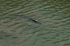 Family Crocodylidae