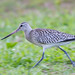 Barge rousse - Bar-tailed Godwit (Limosa lapponica)