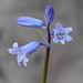 Hyacinthoides hispanica (Spanish bluebell)