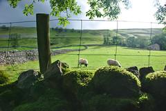 Photo of Sheep