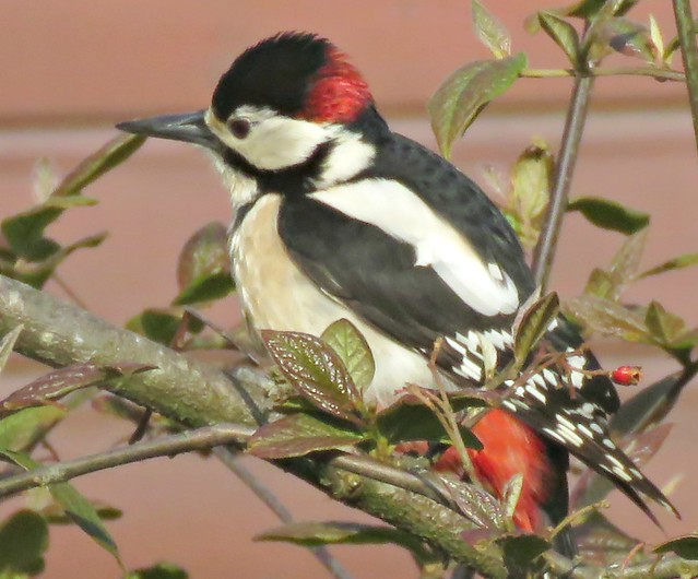 Greater Spotted Woodpecker!
