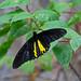 common birdwing (Troides helena) - Entopia Butterfly Farm - Teluk Bahang, Penang Island, Malaysia - Feb 2020