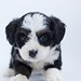 Black and white maltese puppy - Credit to https://homegets.com/