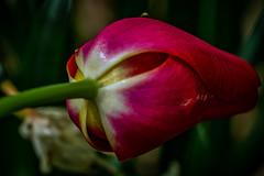 cold morning tulip