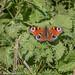 Peacock Butterfly (Aglais oi)