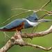 Ringed Kingfisher (female)
