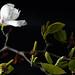 L'ultimo Fiore
