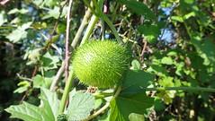 Spiky Fruit on a Vine
