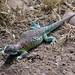 Darwin's Lizard