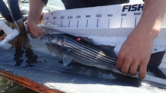 Striped Bass with Tag
