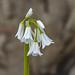 Hyacinthoides hispanica non scripta alba