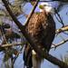 Yorktown bald eagle nest  Virginia
