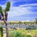 Desert Sky over Joshua Tree Grove, CA 4-13